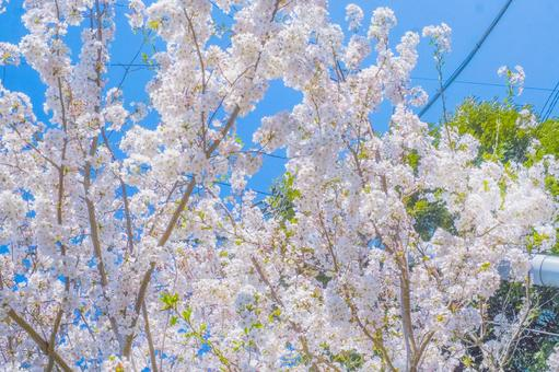 벚꽃과 푸른 하늘과 신록