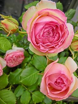 화이트 핑크 장미 1