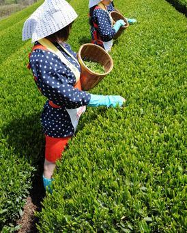 茶採摘的女孩