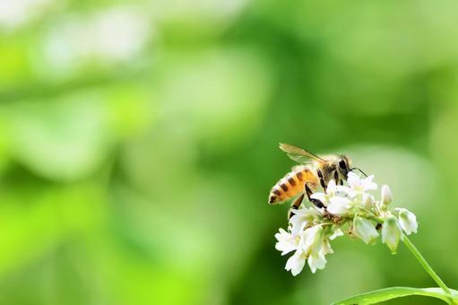 메밀꽃과 꿀벌 메밀 꽃 메밀꽃 꿀벌 자연 꿀벌 꿀 곤충 흰 꽃