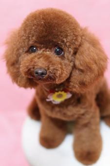 玩具貴賓犬13