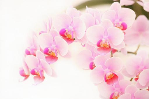 Pink phalaenopsis orchid