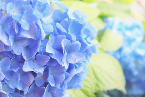 美麗的繡球花與淡藍色的繡球花