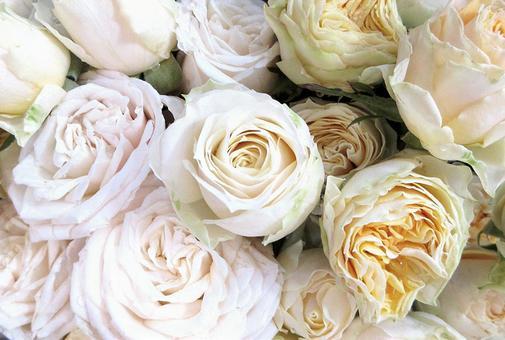 하얀 장미