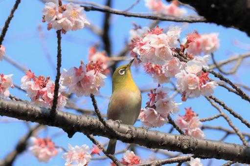 White-eye invited by the nectar of cold cherry blossoms