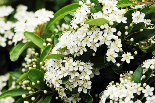 흰 꽃의 청순 함이 매력적인 코데마리