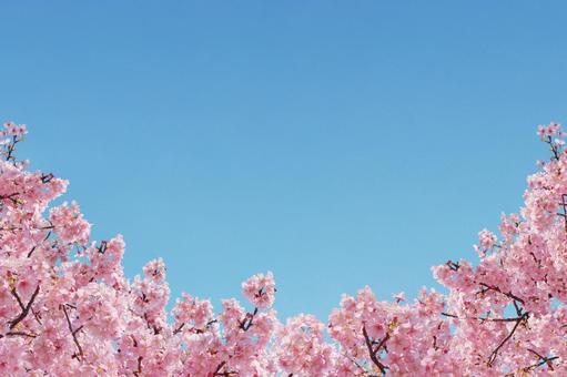 Sakura collection background half