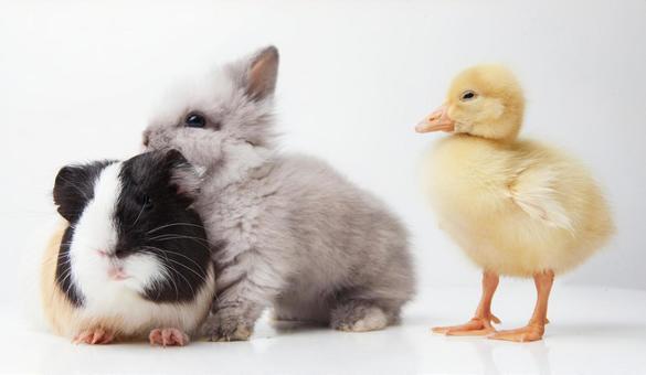 兔子和鸭子和豚鼠9