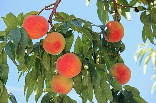 Fukushima peach 2021_03
