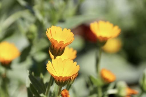 히메 금송화 꽃 1