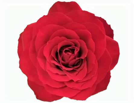 1朵紅玫瑰