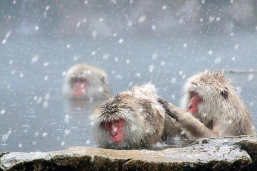 Monkey entering hot spring