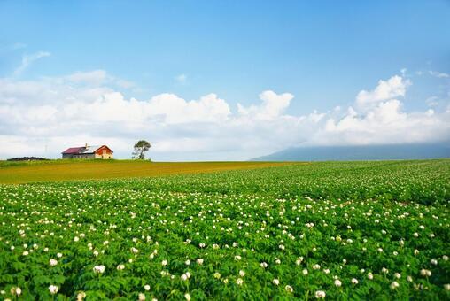푸른 하늘과 유채 꽃과 감자 밭