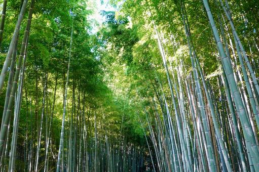 Kyoto Arashiyama Sagano The small diameter of the bamboo grove that the sun shines on