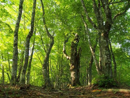 너도밤 나무 숲