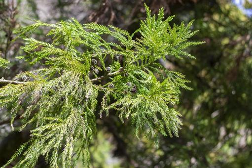 Sugi leaf 2