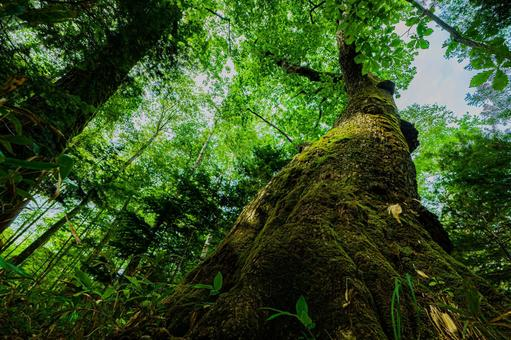 Giant tree of Quercus crispula (No. 10) Search word / Big tree Creator name / YUTO @ PHOTOGRAPHER