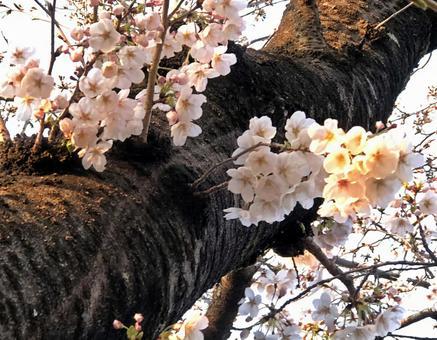 벚꽃, 대목