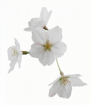 Crop pictures Sakura petals 16-01