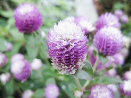 Purple thunbert