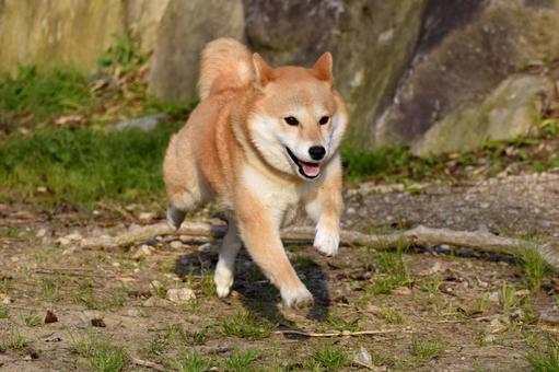 Shiba Inu, Run, Smile