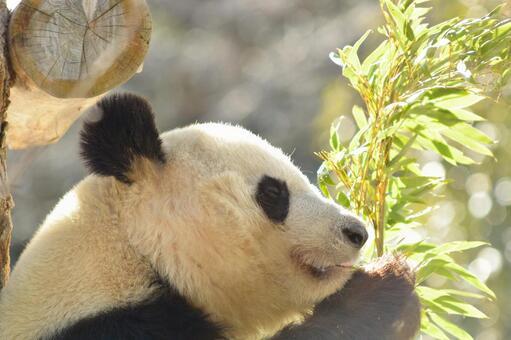 Giant panda with profile 15