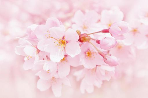 부드러운 벚꽃