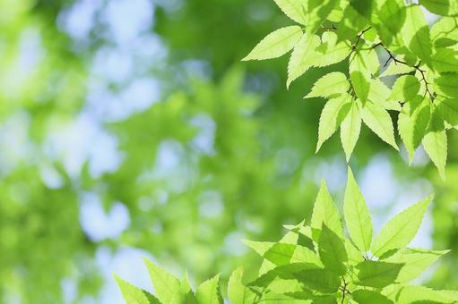 Fresh green leaves Wakaba zelkova