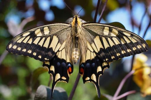 호랑 나비