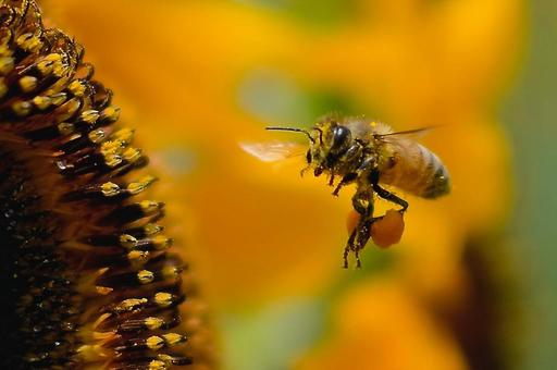 Sunflowers and honey bees