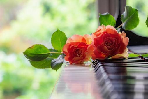 鋼琴鍵盤和月季花