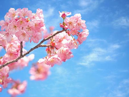 Cherry blossoms and blue sky 02