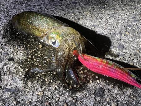 Fresh bigfin reef squid caught in the sea