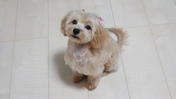 Maltipoo, a mix of Toy Poodle and Maltese