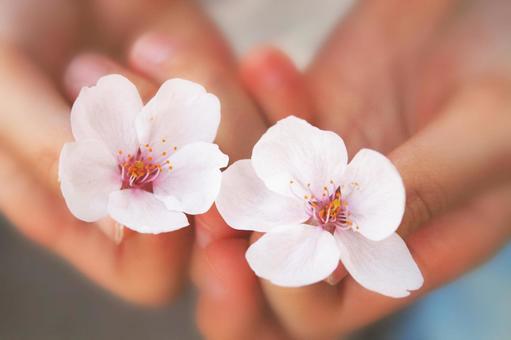 벚꽃 피는 _A02