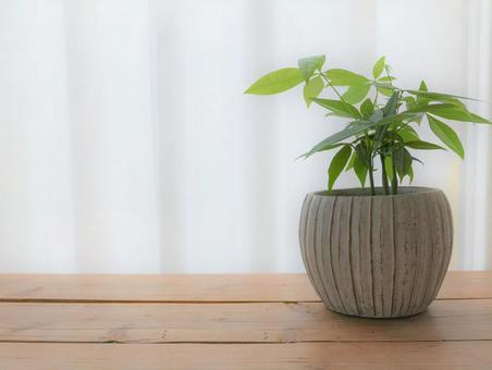 Ornamental plants by the window (Pachira)