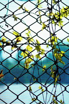 Fence and ivy