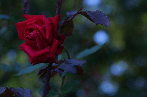 가을 장미 8