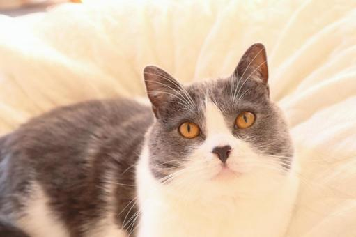 가만히 응시 귀여운 하찌와레 고양이