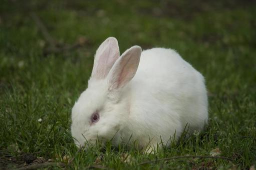White rabbit on the grass