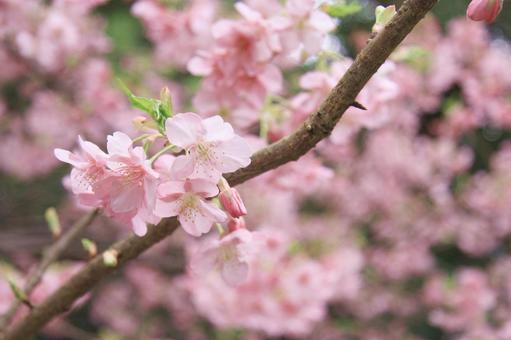 카와 벚꽃