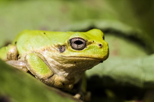 Tree frog 8