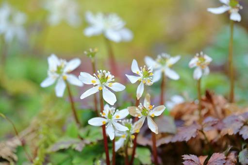 절분 잔디 청초한 하얀 꽃 이른 봄 (고치 현 사가 마을)