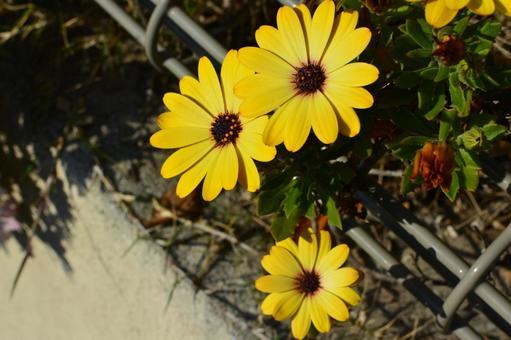 마가렛 꽃