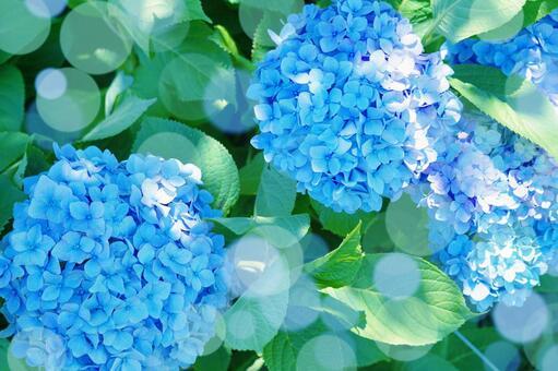 Blue hydrangea rainy season flower