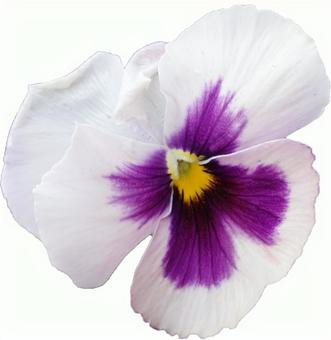White pansy flower (with PSD)