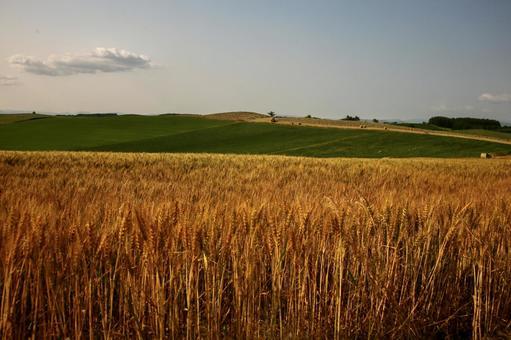 비 에이의 언덕 보리밭