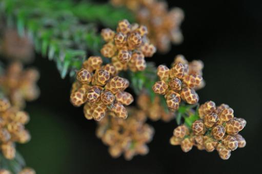 Close-up of male flowers of cedar-season of cedar pollen