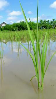 모내기 벼농사 자연 세로 이미지