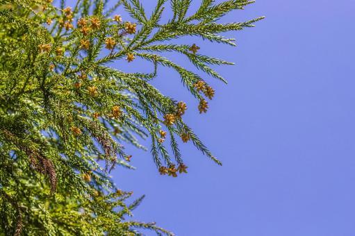 Cedar pollen 2